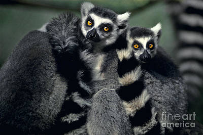 Photograph - Ringtailed Lemurs Portrait Endangered Wildlife by Dave Welling