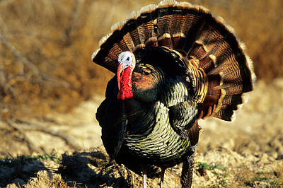 Wild Turkey Photograph - Rio Grande Wild Turkey (meleagris by Richard and Susan Day