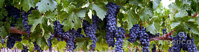 Wine Grapes Photograph - Ripe For The Picking by Jon Neidert