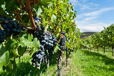 Ripe Grapes Right Before Harvest In The Summer Sun Art Print by Ulrich Schade