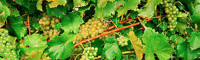 Ripe Green Grapes On The Vine, Quebec Art Print