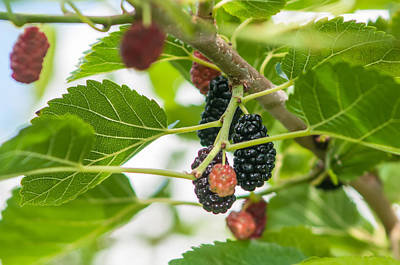 Photograph - Ripe Mulberry On The Branches by Alex Grichenko