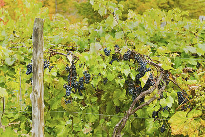 Photograph - Ripe Purple Grapes On Vine In Maine by Keith Webber Jr
