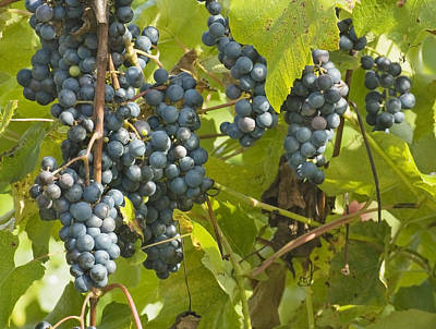 Photograph - Ripe Purple Grapes On Vine  by Keith Webber Jr
