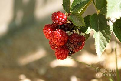 Photograph - Ripening Blackberries by Kerri Mortenson
