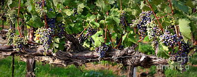 Ripening Grapes Art Print by Carol Groenen