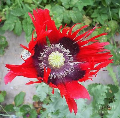 Photograph - Ripening Poppy by Anna Yurasovsky