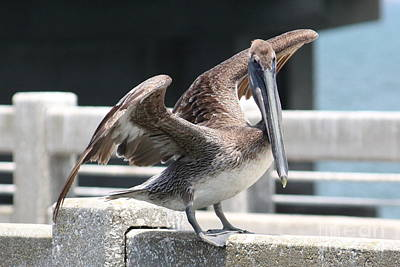 Birds Photograph - Pier Pelican by Carol Groenen