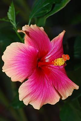 Photograph - Rise And Shine - Hibiscus Face by Connie Fox