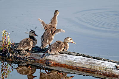 Baby Mallards Photograph - Rise N Shine Duckies by Sharon Talson