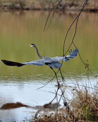 Rising Great Blue Heron  09939536a Art Print