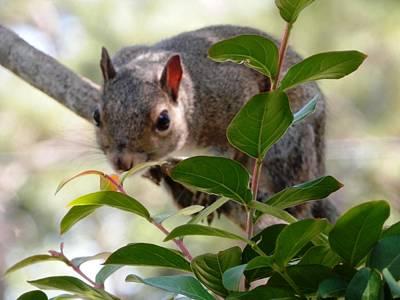 Photograph - Risk Taker Squirrel by Belinda Lee