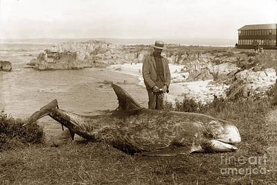 Photograph - Rissos Dolphin Grampus Griseus Circa 1892 by California Views Mr Pat Hathaway Archives