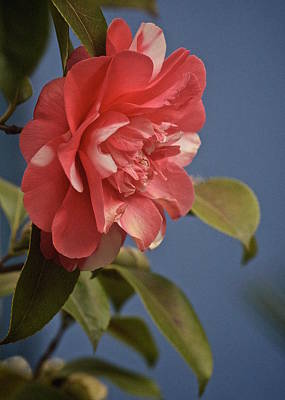 Camellia Photograph - Rites Of Spring by Richard Cummings