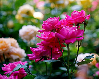 Arrangement Photograph - Rittenhouse Square Roses by Rona Black