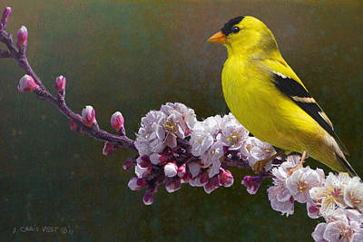 Rivals In Color / Goldfinch And Blossoms Art Print by R christopher Vest