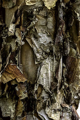 Photograph - River Birch Detail by Curtis Dale