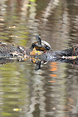 Photograph - River Cooter Turtle by Alan Lenk
