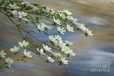 Photograph - River Dogwood by Alice Cahill