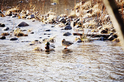 Photograph - River Ducks by Crystal Cox