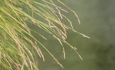 Photograph - River Grasses by Loree Johnson