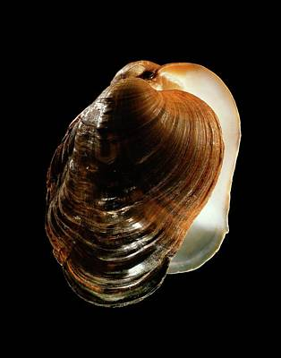Naiad Photograph - River Mussel Shell by Gilles Mermet