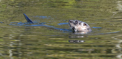 Photograph - River Otter by Julie Cameron