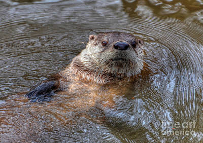 Photograph - River Otter by Kathy Baccari