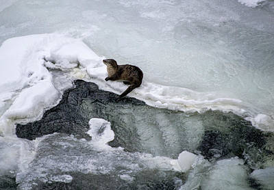 Photograph - River Otter by Richard Verkuyl