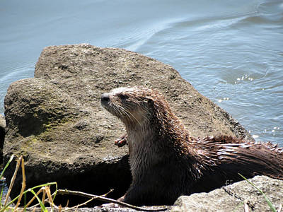 River Otter Sunning By The Lake Art Print by Gayle Swigart