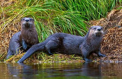 Alaska Wildlife Photograph - River Otters by David Salter