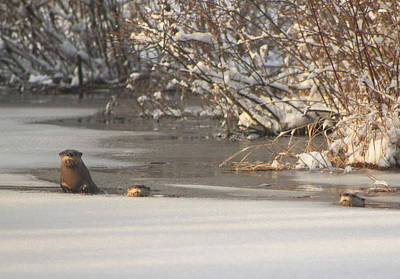 Photograph - River Otters In Winter by John Burk