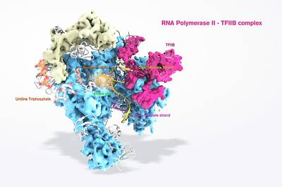Rna Polymerase II And Tfiib Art Print by Ramon Andrade 3dciencia