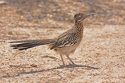 Photograph - Road Runner by Alan Lenk