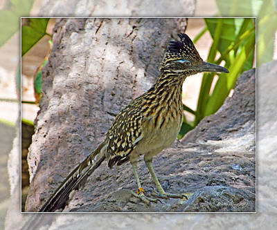 Photograph - Roadrunner by Walter Herrit
