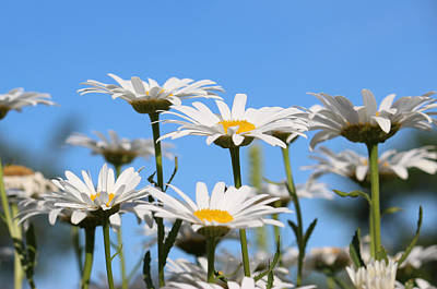 Photograph - Roadside Daisies by Rowana Ray