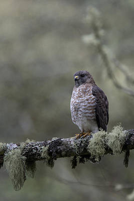 Photograph - Roadside Hawk On Lichen-covered Branch 1 by Tony Mills