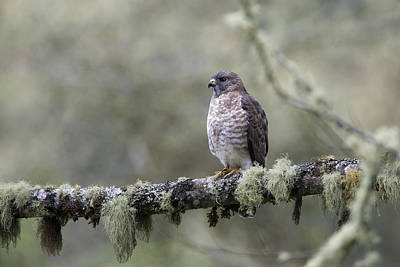 Photograph - Roadside Hawk Perched On A Lichen-covered Branch 2 by Tony Mills