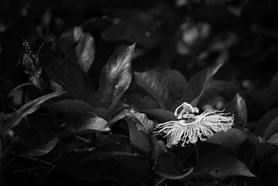 Photograph - Roadside Passion Flower In Black And White by Michael Dougherty