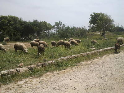 Photograph - Roadside Sheep Pasture In The Galilee by Esther Newman-Cohen