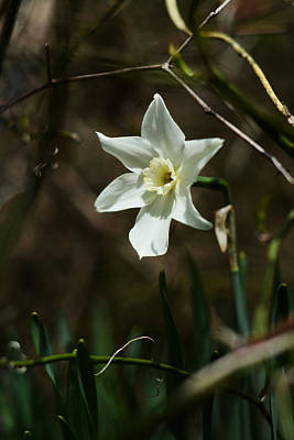 Photograph - Roadside White Narcissus by Rebecca Sherman