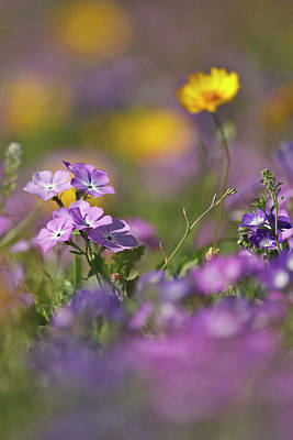 Phlox Photograph - Roadside Wildflowers In Texas, Spring by Larry Ditto