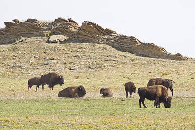 Bison Photograph - Roaming Buffalo by James BO  Insogna