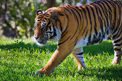 Photograph - Roaming Tiger by Vanessa Valdes