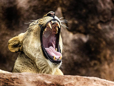 Photograph - Roar by Nicholas Evans