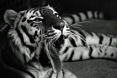 Bigcat Photograph - Roar Of The Tiger by Martin Newman