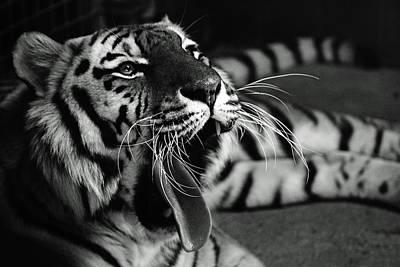Roar Of The Tiger Art Print by Martin Newman