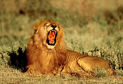 Roar Photograph - Roaring Lion Tanzania Africa by Panoramic Images