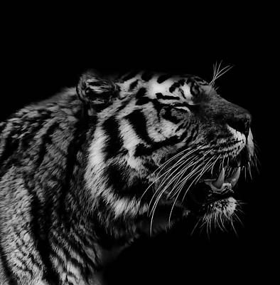 Roaring Tiger Print by Martin Newman