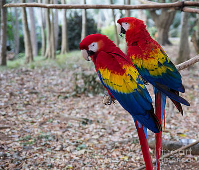 Photograph - Roatan Macaws by Suzanne Luft